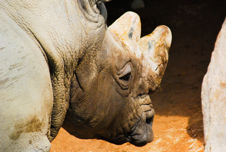 A head of the rhino seen from behind on a sunny day