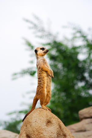 One suricate straight on a rock while observing very carefully Stok Fotoğraf