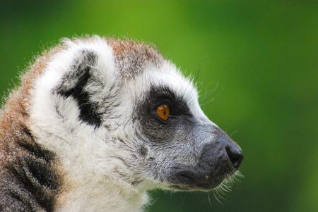 One lemur in the wild natural habitat Stok Fotoğraf