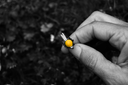 Single fresh colorful daisy to play the game she or he loves me and she or he love me not