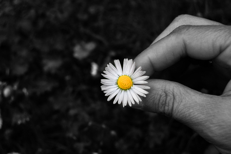 Single colorful daisy just picked to start the game she or he loves me and she or he love me not Imagens