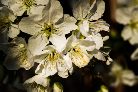 Close up of flowers of cherries illuminated by natural sunlight