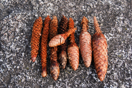 Eight pine cones crunched by squirrels well aligned on a granite stone Imagens