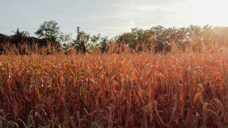 Cob field illuminated by a particular sunlight