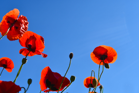 Beautiful red poppies in contrast with the light blue of the sky