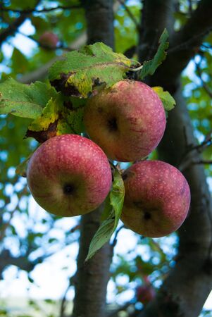 Group of ripe wild apples seen from below