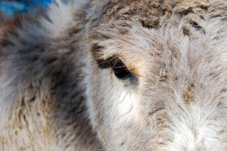 Close up of eye of white gray and red donkey
