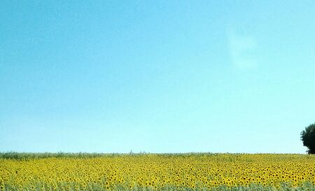 Yellow flowers in contrast with the blue sky in Tuscany Italy 스톡 콘텐츠