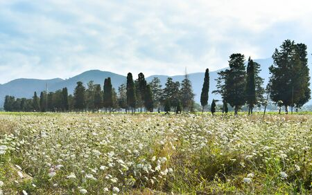 Overview on a white flowers field and typical Cypress trees of central Italy