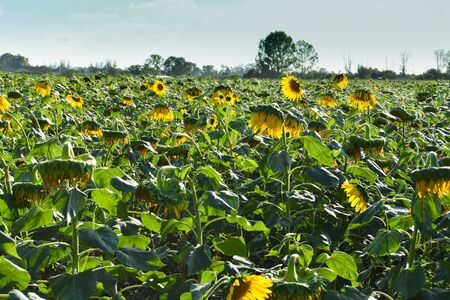 Yellow flowers before harvesting for sunflower oil production in Tuscany 스톡 콘텐츠