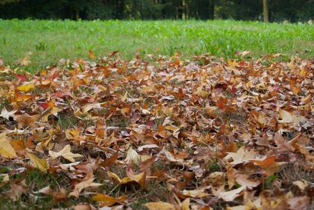 Many brown maple leaves fell to the ground