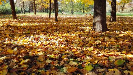 Yellow brown orange foliage under many maples illuminated by sunlight 스톡 콘텐츠