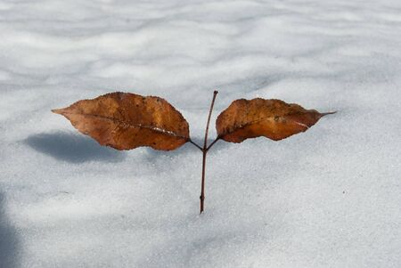 Two dry and brown chestnut leaves in the opposite position above an expanse of white snow