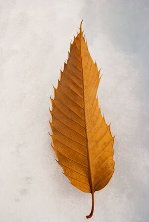 One brown chestnut leaf on the white snowy ground in vertical position
