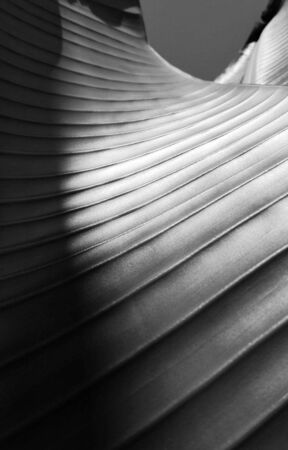Close-up of leaf fibers with sinuous lines that seems to be a futuristic architecture of a skyscraper in black and white