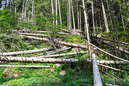 Trees freshly cut by lumberjack and fallen disorderly to use timber