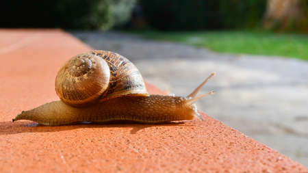 Brown snail with spiral house that crawls over orange tiles lit by sunlight early in the morning 스톡 콘텐츠