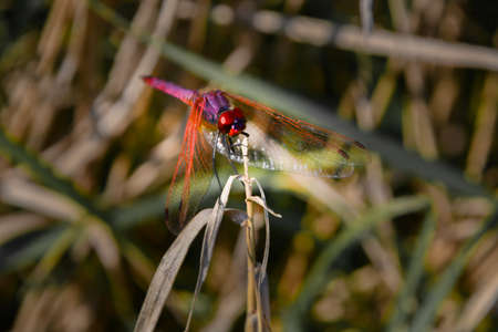 Macro on a dragonfly with forward-stretched wings laid on the apex of a dry sprig