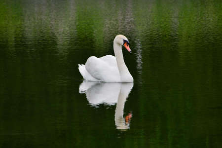 Elegant white bird with orange beak mirrored in the calm water that reflecting green environment surrounding