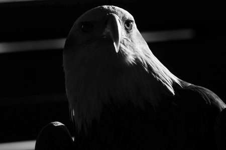 Portrait of a single bird of prey with a careful look of black and white plumage in dim light with sunlight