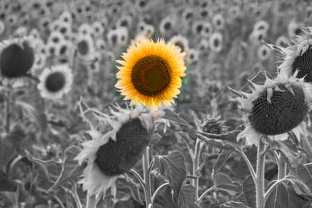 A single yellow colored flower in a sunflower field in bw