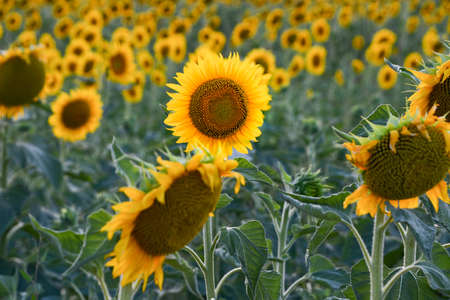 Yellow flowers of an agricultural field during a sunny day 스톡 콘텐츠