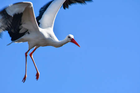 Black and white stork with orange beak and big wings open as it flies in the blue sky