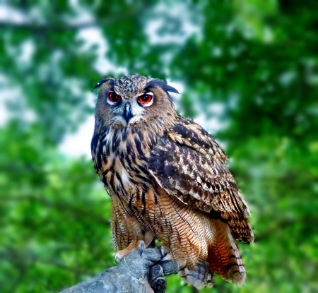 red eyes: eagle owl with red eyes