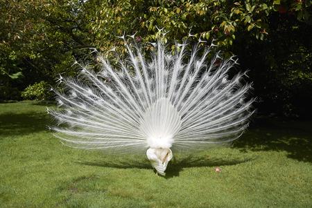 White peacocks Stock Photo