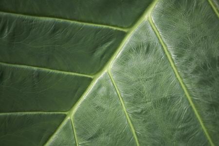 Alocasia odora leave