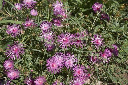 mesembryanthemum Stock Photo