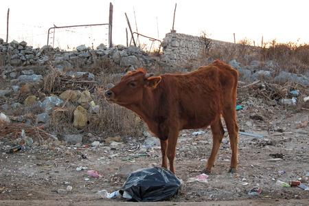 San Vito Lo Capo, Italy - August 30, 2011: Cow  Stock Photo