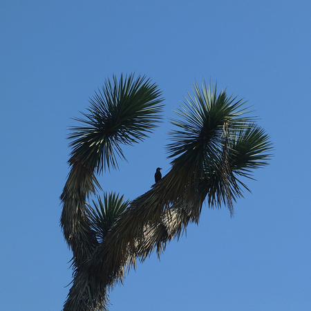 Yucca brevifolia with a bird