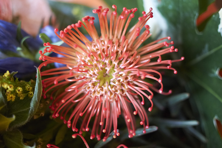 Leucospermum flower Stock Photo