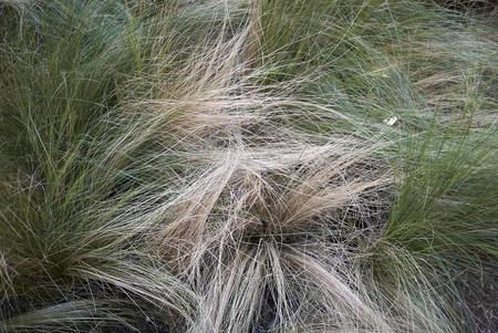 Carex albicans plants Stock Photo