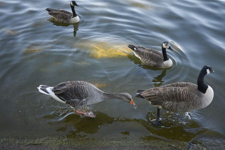 Greylag geese in the water