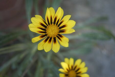 gazania yellow flower