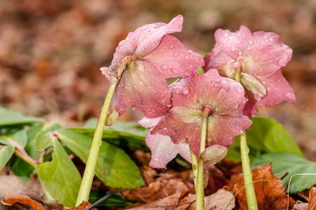 Purple Helleborus flower with stamen in forest with rain drops