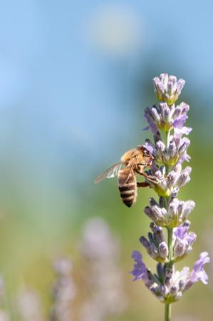 Beautiful Lavender angustifolia, lavandula in sunlight in herb garden with honey bee insect Reklamní fotografie