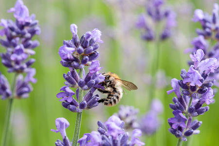 Beautiful Lavender angustifolia, lavandula in sunlight in herb garden with honey bee insect Stock Photo
