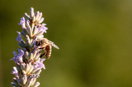 Beautiful Lavender angustifolia, lavandula in sunlight in herb garden with honey bee insect 免版税图像