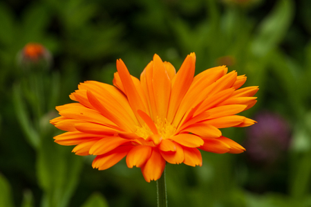 Calendula officinalis, marigold orange flower in a herb garden in a sunlight.
