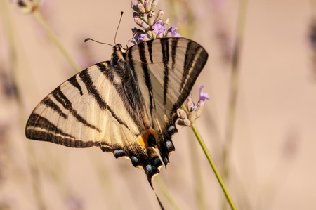 Beautiful Papilio machaon butterfly on lavender angustifolia, lavandula in sunlight in herb garden