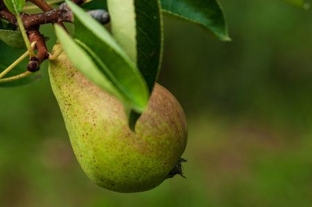 Pear on a tree in fruit garden in Slovenia