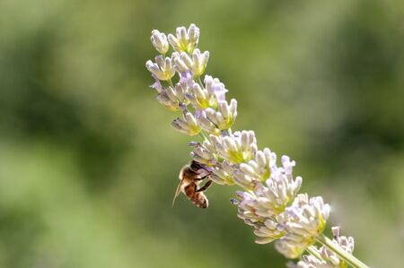 Beautiful Lavender angustifolia, lavandula in sunlight in herb garden with honey bee insect