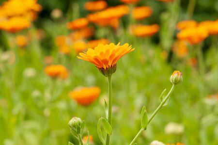 Calendula officinalis, marigold orange flower in a herb garden in a sunlight.