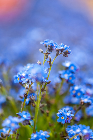 Myosotis beautiful blue tiny forest flower in spring bloosom in artistic blur design with text space Stock Photo