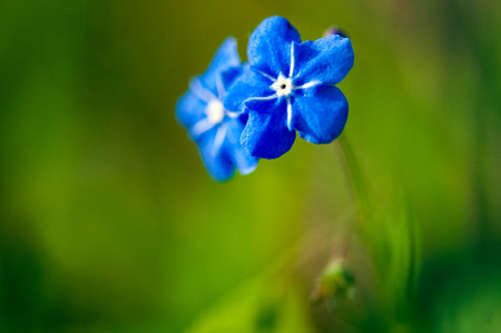 Myosotis beautiful blue tiny forest flower in spring bloosom in artistic blur design with text space