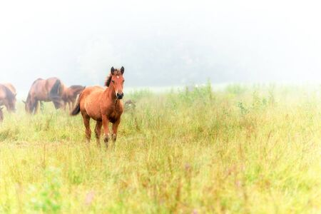 Herd of horses in a meadow in the mist. Horses in a foggy meadow in autumn. Wild horses in the meadow on misty summer morning.