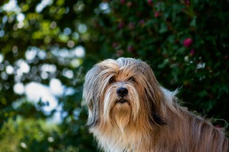 Portrait, head of a beautiful Tibetan terrier dog. Background blurred, sunny day, outdoor.